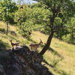 Tunceli'de dağ keçileri kurtuldu